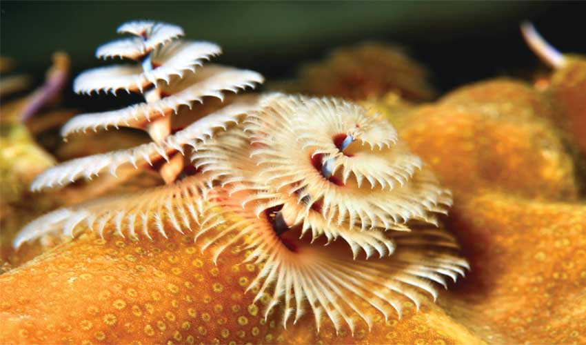 853 Christmas tree worm 1