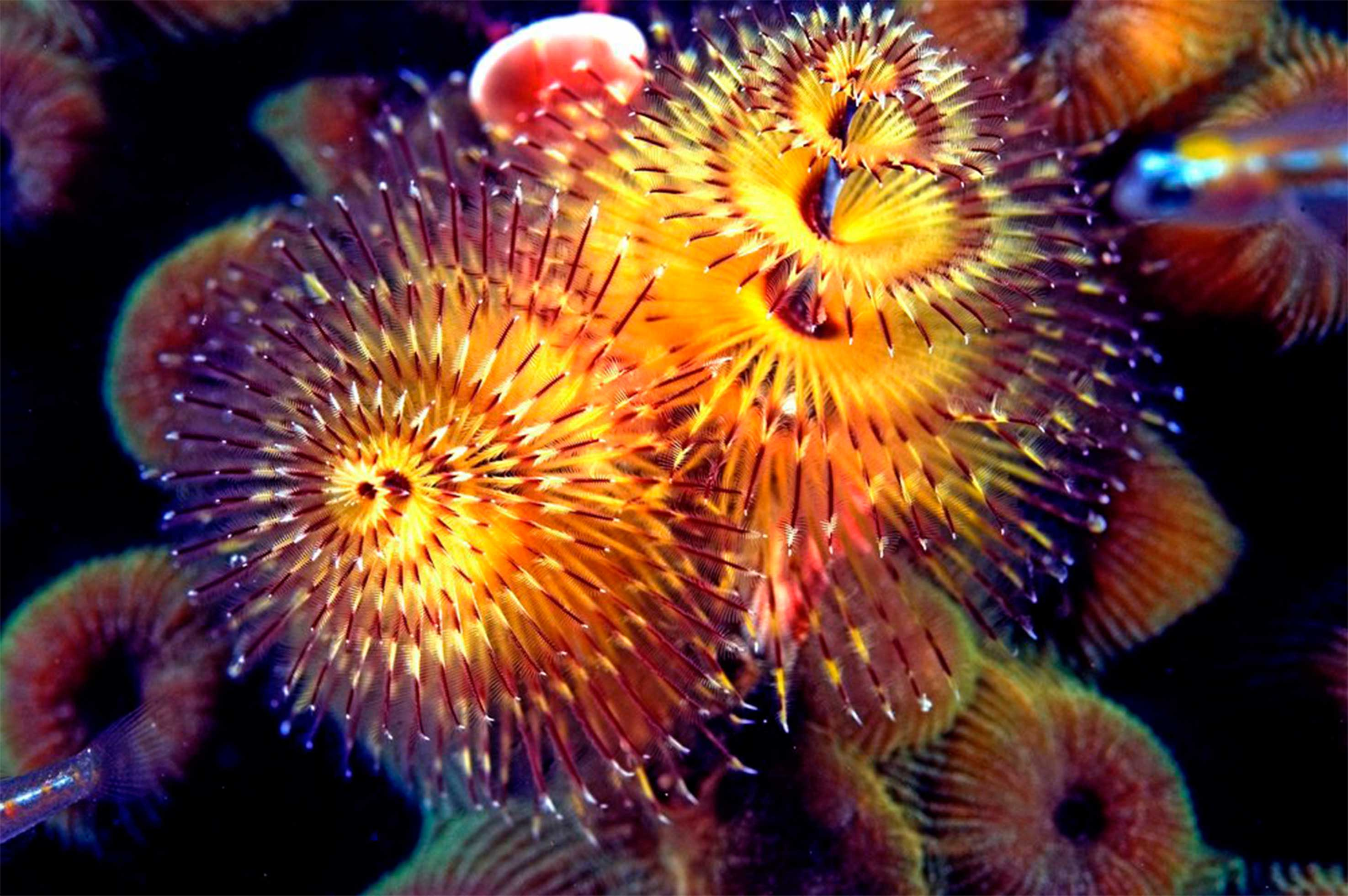 853 Christmas tree worm 4