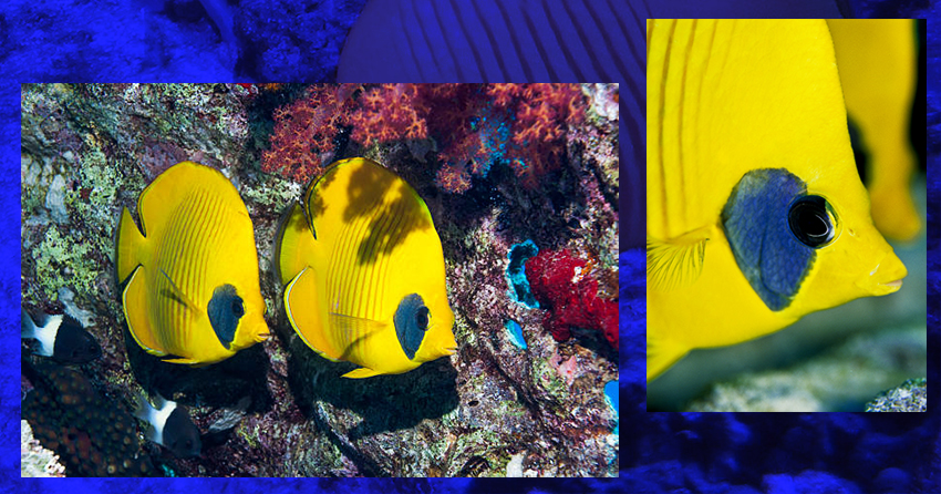 masked butterfly fish 02